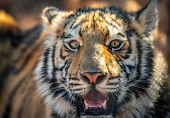 Happy Father's Day! (Amazing Aperture Photography) Tags: nature wild wildlife animal mammal carnivore predator bigcat cat feline tiger bengaltiger cub young baby stripes fur eyes whiskers portrait cute furry nikon nikond800 outofafrica outofafricawildlifepark