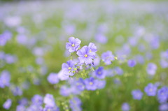 A camp of linseed (Baubec Izzet) Tags: baubecizzet pentax bokeh nature spring flower flickrunitedaward