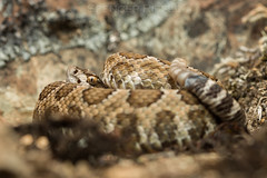 Northern pacific rattlesnake (Crotalus oreganus) (Spencer Dybdahl Riffle) Tags: snake rattlesnake crotalus humboldt humboldtcounty reptile herpetology herp herping california northernpacificrattlesnake crotlausoreganus northern pacific pnw pacificnorthwest