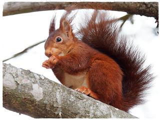 Esquirol vermell - Ardilla roja - Red squirrel - Sciurus vulgaris