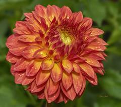 "Dahlia With Raindrops (ChristopherLeeHewitt) Tags: dahlia flower orange fall garden nature bloomingart color closeup blossom bloom bright autumn sun ""doublefantasy"""