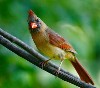 Northern-Cardinal-138w