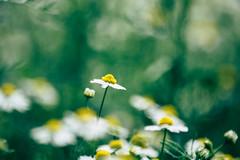 Awake my soul. (aria_thewanderer) Tags: flowers colors nikon d5200 details green macro nature landscape beautiful love wild explore italy daisies piemonte
