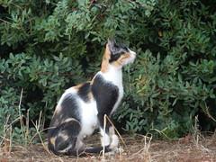 Pefkos Cat (deltrems) Tags: greek greece rhodes rodos pefki pefkoi pefkos island hellas animal kitten cat puss pussy pussycat feral feeding station area