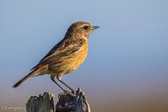 Tarabilla Común, Common Stonechat (Saxicola torquatus) (Corriplaya) Tags: aves birds corriplaya tarabillacomún commonstonechat saxicolatorquatus