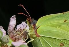Brimstone - Gonepteryx rhamni -Near Wool Dorset (3) (ailognom2005) Tags: brimstone gonepteryxrhamni nearwooldorset dorset dorsetwildlife insects insect britishinsects uk butterflies butterfliesmothsandcaterpillars