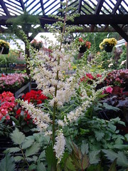 Chinese Astilbe 'visions in white' (Hickory Hollow Nursery and Garden Center) Tags: perennial flowers sedum coreopsis heuchera hibiscus clematis achillea landscaping bergen county nj westchester ny orange rockland landscapers columbines garden design landscape ajuga iris vinca myrtle foxglove dianthus primula peony asiatic lilly salvia allium annuals gardens flower macro soil tree wood