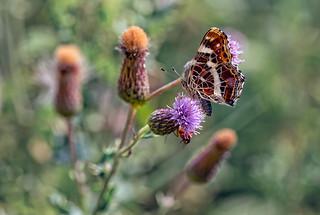 Araschnia levana - Map Butterfly