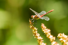 RUDDY DARTER (_jypictures) Tags: animalphotography animals animal animalplanet canon canon7d canonphotography wildlife wildlifephotography wiltshire dragonfly dragonflyphotography ruddydarter darter photography pictures ukwildlife macrophotography macro insect insectphotography