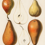 A vintage chromolithograph of fresh pears printed in 1887, by Samuel Berghuis. Digitally enhanced from our own original plate. thumbnail