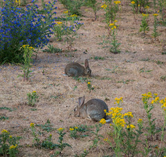 Bunny supper... (+Pattycake+) Tags: eatonpark landscape canon70d efs1785mm norwich summerscenes 1456 uea uk evening animal rabbit soil grass