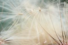 AFTER LOVE- (FLOCVROFF) Tags: macro 50mm chivaroff summer chardon pure white juillet canon sweet highkey