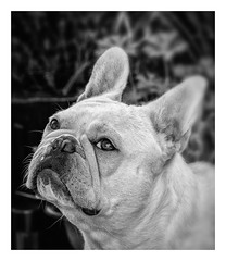 A Pet Portrait  - Albi  The French Bulldog (Monochrome & Border) (Olympus OM-D EM1-II & M.Zuiko 40-150mm f2.8 Telephoto Pro) (markdbaynham) Tags: dog pet cute canine frenchbulldog bulldog smalldog smallbulldog olympus omd olympusomd oly em1 em1ii em1mk2 csc mirrorless microfourthird microfourthirds m43 m43rd micro43 micro43rd olympusem1 albi petportrait animal domesticanimal bw monochrome blackwhite 40150mm mzd mz zd mzuikolic prolens prozoom