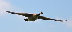 Canada Goose in Flight (Pat's Pics36) Tags: nikond7000 nikkor18to200mmvrlens canada britishcolumbia bc abbotsford willbandcreekpark goose canadagoose inflight brantacanadensis