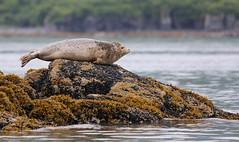 Alaska094 (lorstierlen) Tags: kodiak katmai nature bears wildlife seal