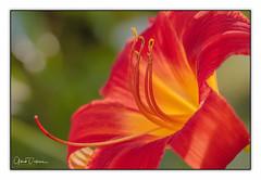 Lily (gilbertdorleansphotography) Tags: fleurs montréal canon canonlens flora flowers garden jardin macro macrophotography montreal nature photo photographe photographie photography photos macrodreams blossoms fleur
