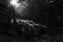 mancano solo le fate (hydRometra) Tags: wood luci piemonte montagna mountains outdoor alberi trees valpellice nature natura controluce bn bosco piedmont allaperto bw foresta