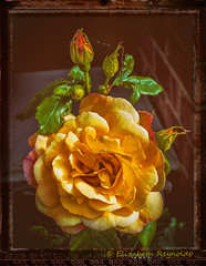 Day 167. (lizzieisdizzy) Tags: outside outdoors garden flower flowers flowery rose roses floribunda bush beautiful petals petal blousy fragrant fragrance scented largebloom rosacea rosaceae leaflets stipules bud buds budlet