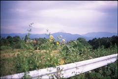 (✞bens▲n) Tags: pentax lx provia 100f at200 film analogue slide fa 31mm f18 limited yamanashi japan mount fuji mountain flowers yellow