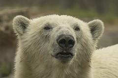 Ijsbeer - Blijdorp - Rotterdam (Jan de Neijs Photography) Tags: tamron tamron150600 tamron150600g2 g2 blijdorp diergaardeblijdorp zoo dierentuin dier animal rotterdamzoo dierenpark rotterdam rotterdamsediergaarde diergaarde 150600 beer ijsbeer ursusmaritimus poolbeer polarbear nl nederland holland dieniederlande thenetherlands bear