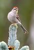 Chipping Sparrow_53F0090 (~ Michaela Sagatova ~) Tags: dundasvalley canonphotography chippingsparrow michaelasagatova sparrow