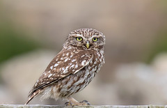 Tales from Northumberland... Little Owl on watch (Steve (Hooky) Waddingham) Tags: bird british barn wild wildlife coast countryside nature northumberland prey photography owl little