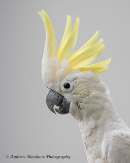 Billy the wild Cockatoo