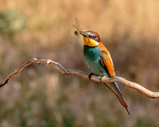 Bee-eater with Dragonfly
