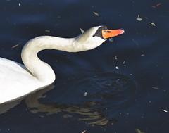 Taste Test (Robin Shepperson) Tags: swan canal river bird taste test d3400 nikon berlin germany wildlife nature white orange black leaves