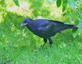 American-Crow-41w