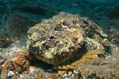 Synanceia verrucosa. Stonefish. Океанская бородавчатка. (atardecer2018) Tags: бали дайвинг рыбы 2017 underwater scubadiving diving bali fish