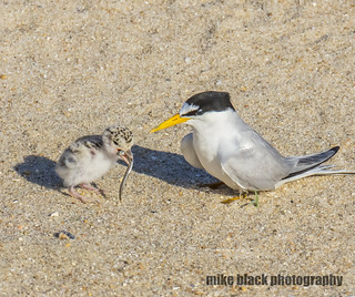 Tern chick and adult