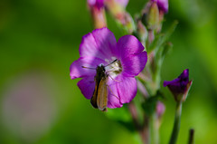 Skipper butterfly on great willowherb flower (Dave_A_2007) Tags: hesperiidae butterfly flower greatwillowherb insect nature plant skipperbutterfly wildlife willowherb wolverhampton westmidlands england
