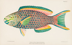 Rare Antique Tropical Fish Queen Parrot by Henry Baldwin (1899), a beautifully colored exotic fish isolated. Digitally enhanced from our own original plate. (Free Public Domain Illustrations by rawpixel) Tags: 1899 otherkeywords tags animal antique aquarium aquatic beautiful bien big blochschneider cc0 chromolithograph color colorful drawings exotic fin fish henrybaldwin illustrated illustration isolated life lithograph marine natural nature ocean old original plate print publicdomain retro scarce scarusvetulabloch sea sketch species tropical vintage water zoology