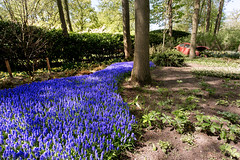 Blue _3323 (hkoons) Tags: northsea westerneurope atlantic city europe european holland keukenhof netherlands springtime tree arbor beautiful beauty bloom blooms blossom branch branches bud buds canals canopy coast coastal color dykes flora flower flowers garden green growth landscape leaf leaves limb limbs ocean outdoors pretty roots sea soil spring stem sun sunshine tidal trees trunk tulips waterways