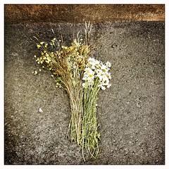Comme une offrande... Ces fleurs des champs dans la ville... (woltarise) Tags: fleurs champêtres ruelle asphalte mur couleurs iphone7 hipstamatic montréal outremont