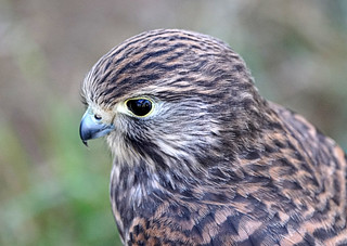 Captivated by a Kestrel!
