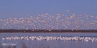Snow Geese At Dawn_MG_9960