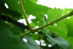 Raindrops on the vine. (ALEKSANDR RYBAK) Tags: vine grapes rain drops water transparent clear leaves season summer weather closeup macro