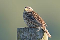 Corn Bunting (drbut) Tags: cornbunting emberizacalandra bird birds avian wildlife nature canonef500f4lisusm
