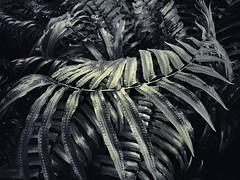 Fern Curve (Beth Reynolds) Tags: fern spores green leaf curves plant nature florida native