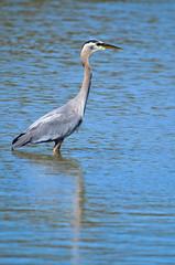 Great Blue Heron (glenbodie) Tags: 201829 bodie dncb glen glenbodie reifel