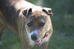 DSC_1297 (silver_ring) Tags: pitbull portrait