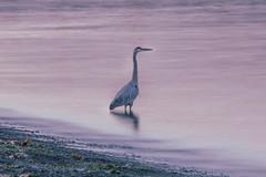 The Fisherman (Joel Apple) Tags: islandviewbeach longexposure pacificnorthwest ocean water northamerica things blueheron birds animals canada bird britishcolumbia places vancouverisland