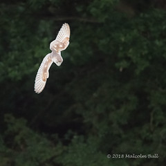 Barn Owl - Woods Mill (39) (Malcolm Bull) Tags: include woods mill barn owl 20180619woodsmill0039edited1web