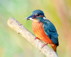 Kingfisher (Paul Stuart) Tags: fishing bird dinner kingfisher fish supper perched lunch prize