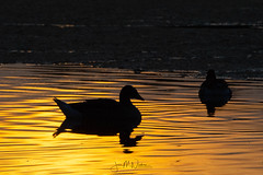DSC_9836 (JanMNielsenPhoto) Tags: duck ducks sunset wildlife wildlifefriend animalonearth opdagdanmark visitdenmark nikon nikonphotography d7200 wildlifephotography utterslevmose bog