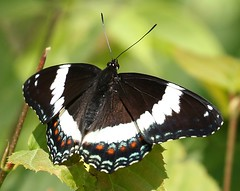 White Admiral (Eric C. Reuter) Tags: hancock ny catskills june 2018 061618 butterflies insects peaseddyroad nature wildlife