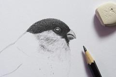 (Girl With Butterfly Wings) Tags: bullfinch head drawing sketch pencil sketching art illustration bird beak face eraser