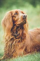 Glorious hunter (Heidi H. Alakoski) Tags: dog setter irish nature summer lightroom puppy hunter doggy brown grass